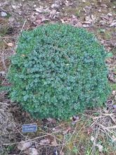 Picea omorika ' Pimoko ' Dwarf Serbian Spruce