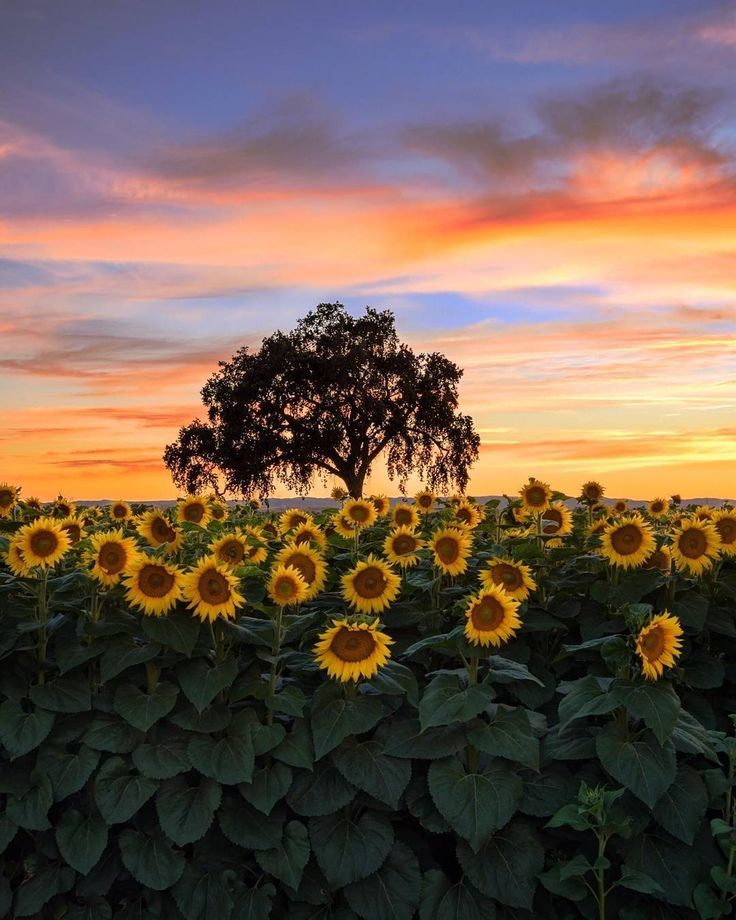 Sunflowers at sunset in Woodland California  #travel #nature #freeyork #california #woodland #sunflower #fields #sunset