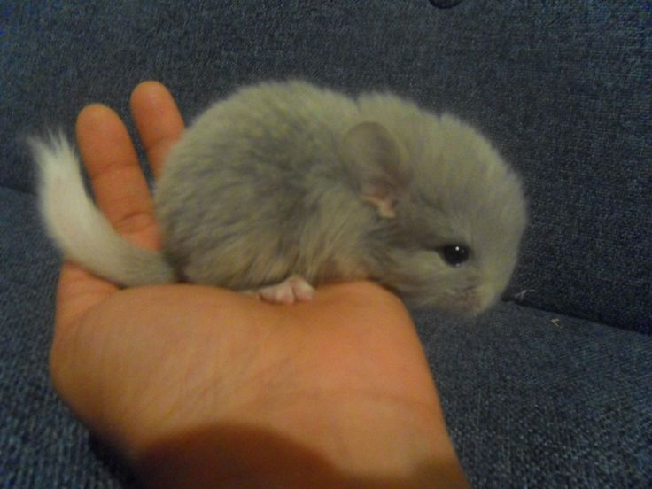 cute baby chinchillas for sale Google Search Cute