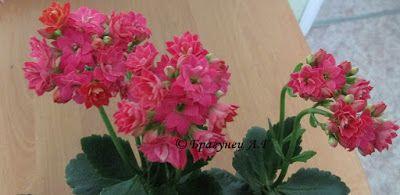 1001 полезный совет: Уход за каланхоэ цветущим в домашних условиях