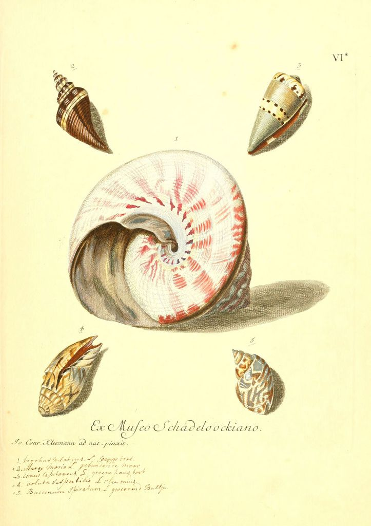 Kingdom of the Seashell