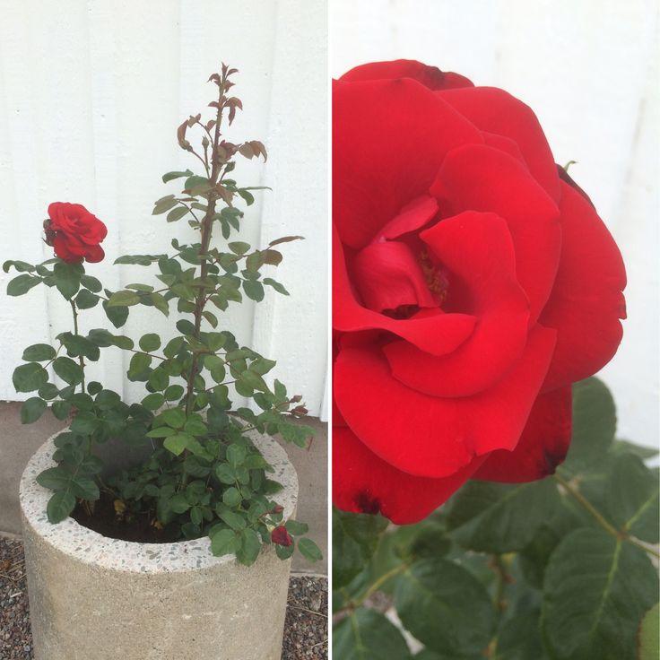Min nya ros blommar redan 😊 Ska pryda väggen