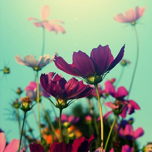Purple: Inspiration, Life, Colors, Pretty Flowers, Beautiful Flowers, Cosmos, Things, Garden, Photography