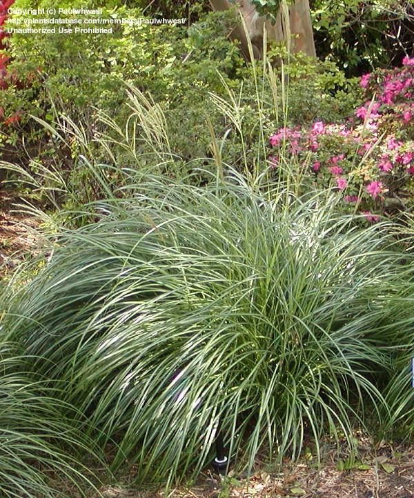 104 Best Images About Fl Ornamental Grass On Pinterest