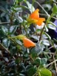 Nematanthus gregarius (Goldfish Plant, Guppy Plant) - Plant Page