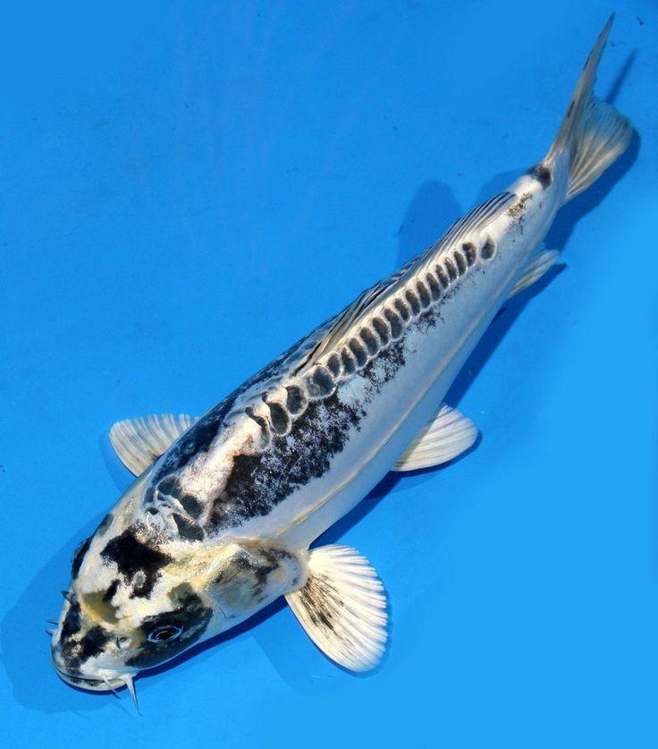 Live koi fish 10 11 white kikokuryu ghost koibay koi for Blue and white koi fish