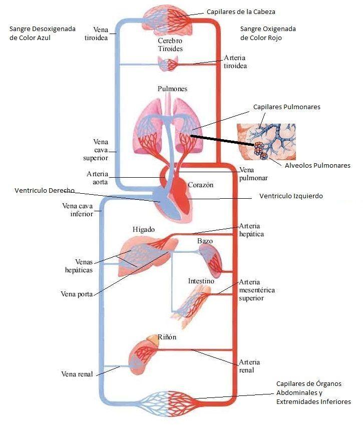 Circuito Respiratorio : Las mejores ideas sobre sistema circulatorio en