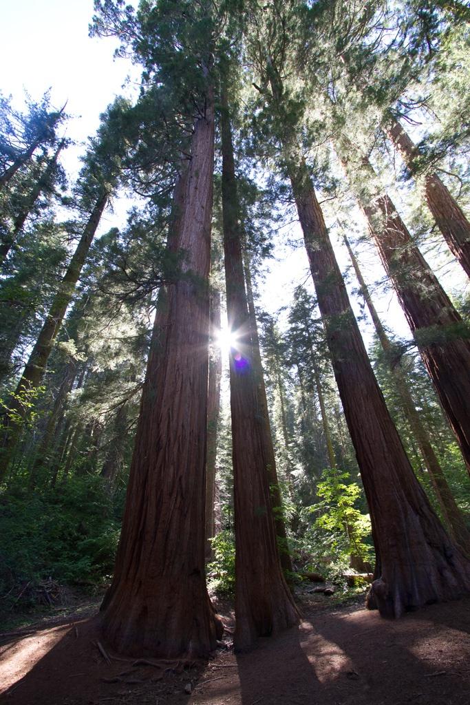 Mariposa Sequoia Grove, Yosemite NP #MomentstoConserve