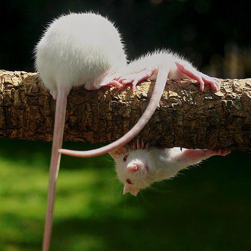 rats <3 gymnastics. (via ratdistrict.tumblr.com)