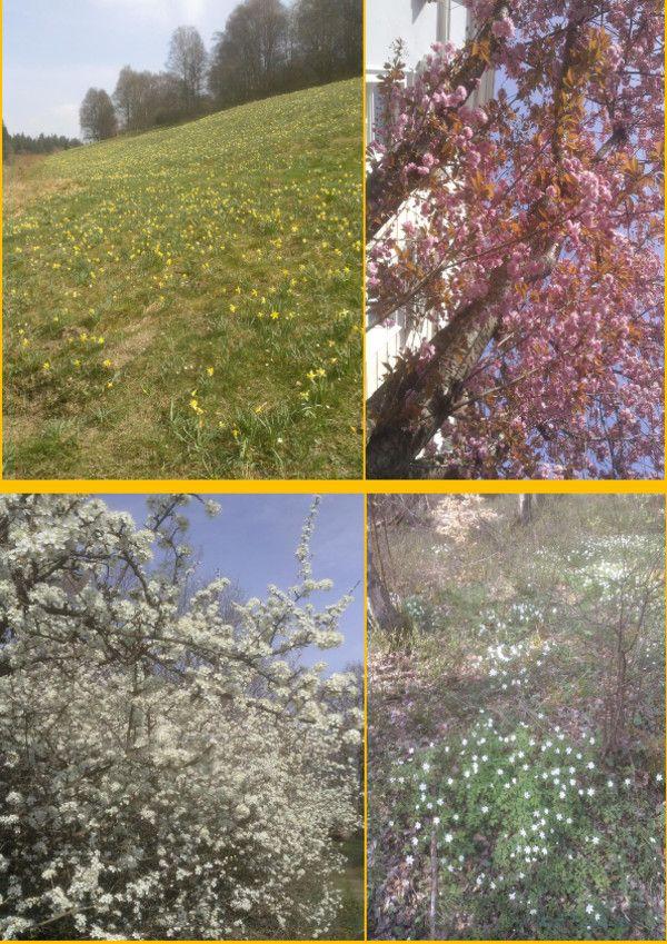 Es ist Frühling - ob nun die Narzissenblüte bei Monschau, die Kirschblüte in der Bonner Altstadt, die Schlehenblüte im Ahrtal oder die Buschwindröschen in der Eifel. Überall erblüht die Pflanzenwelt.