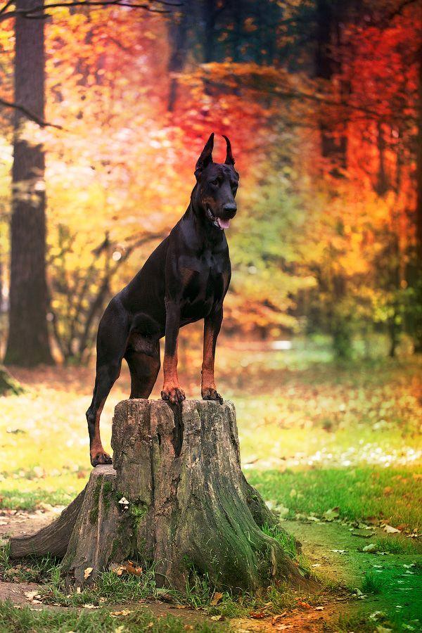 Beautiful #Doberman - I just lover the trees.