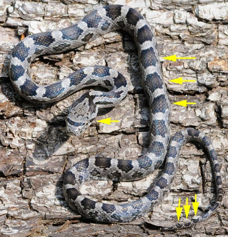 The Black Rat Snake is a good snake but the juveniles are mistaken for poisonous