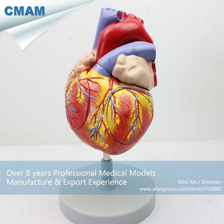 CMAM-HEART04 Human Heart Anatomy Model, Full Life Size Enlarge, 4 Parts, Anatomy Models > Heart Models