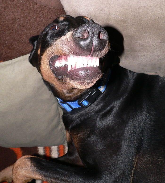 Innocent Doberman smile