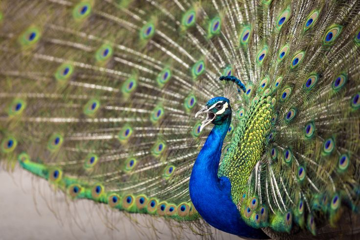 Peacock Facts