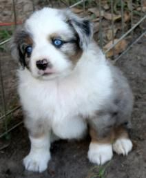 miniature aussies for sale in texas | sale texas miniature aussie puppies texas toy aussie puppies texas toy ...