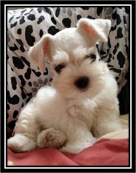 White mini schnauzer!!
