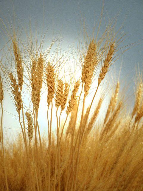 "araknesharem: "" Dried rice by tanakawho on Flickr. """