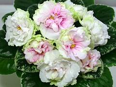 African Violet Saintpaulia Plant Le Amelia New Variegated | eBay