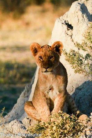 Lion cub on the Linkwasha Concession #HwangeNP