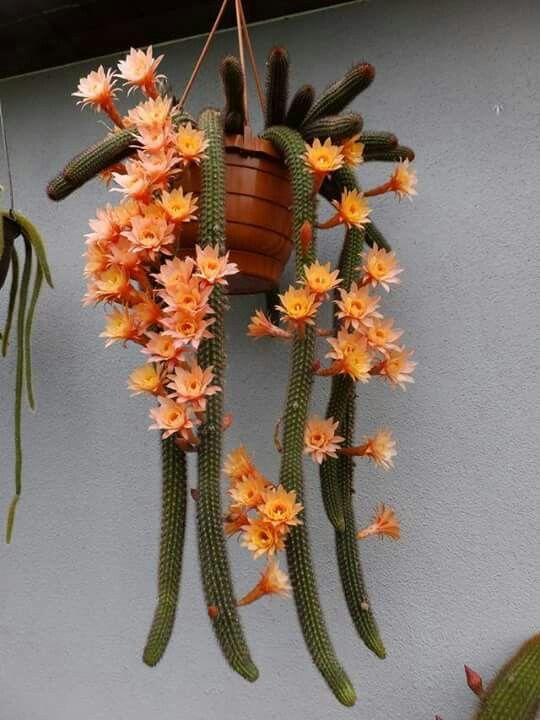 ❤~ Cactus~❤~Suculentas~❤ Hildewintera Humkes