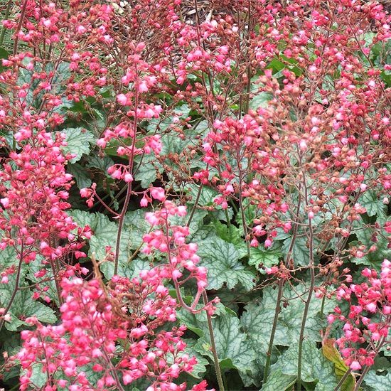 Coral Bells  'Paris' coral bells produces a frothy sea of pink blooms floating above silvery green foliage, so even when this perennial flower is not in bloom, it looks great. Other varieties are grown strictly for their attractive foliage colors, with shades ranging from deep purple to bronze, peach, silver, and mixtures of the above.  Name: Heuchera selections  Zones: 3-9