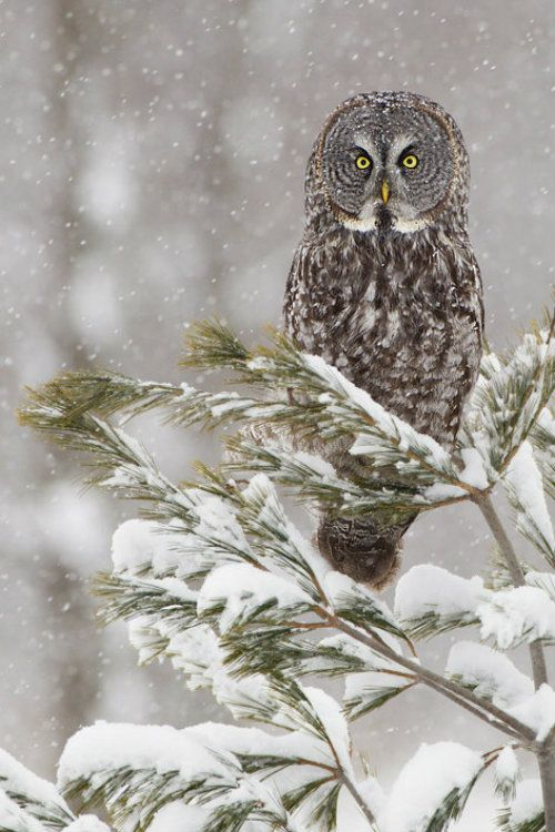 Great Grey Owl in Snow