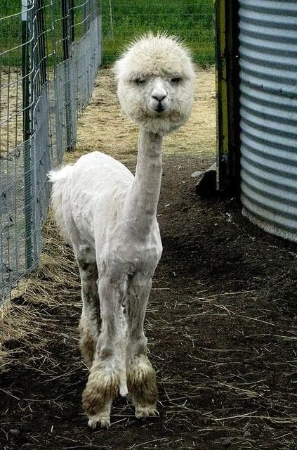 RT @Melissa Barnett Blobby: A shaved Alpaca: the longer you look at it, the funnier & scarier it is pic.twitter.com/NJCLNLYN (via @Cindy Vriend)