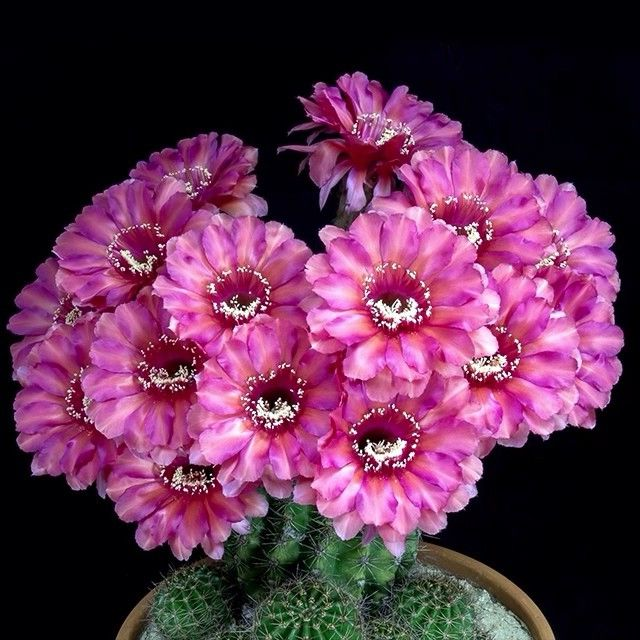 An echinopsis blooming by echinopsisfreak on instagram