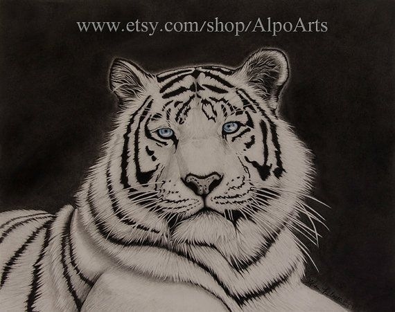 White Tiger Pencil Drawing 8x10 realistic tiger by AlpoArts, $25.00