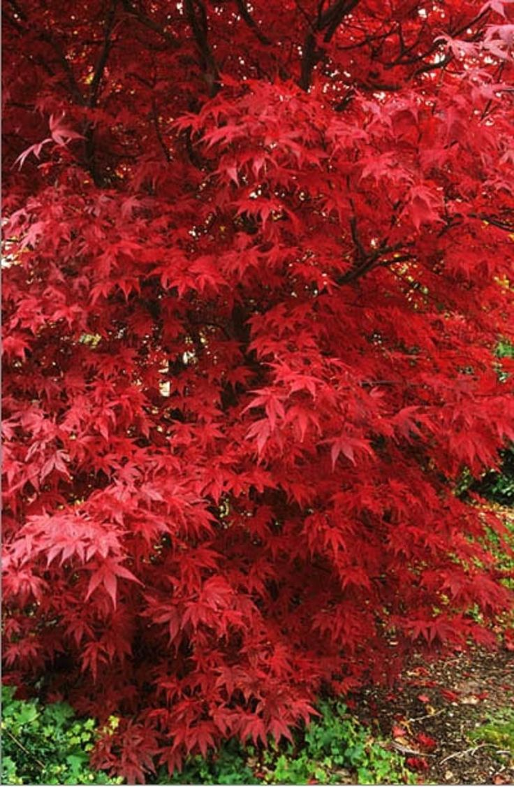 japanese maple acer palmatum 39 bloodgood 39 leaf foliage. Black Bedroom Furniture Sets. Home Design Ideas
