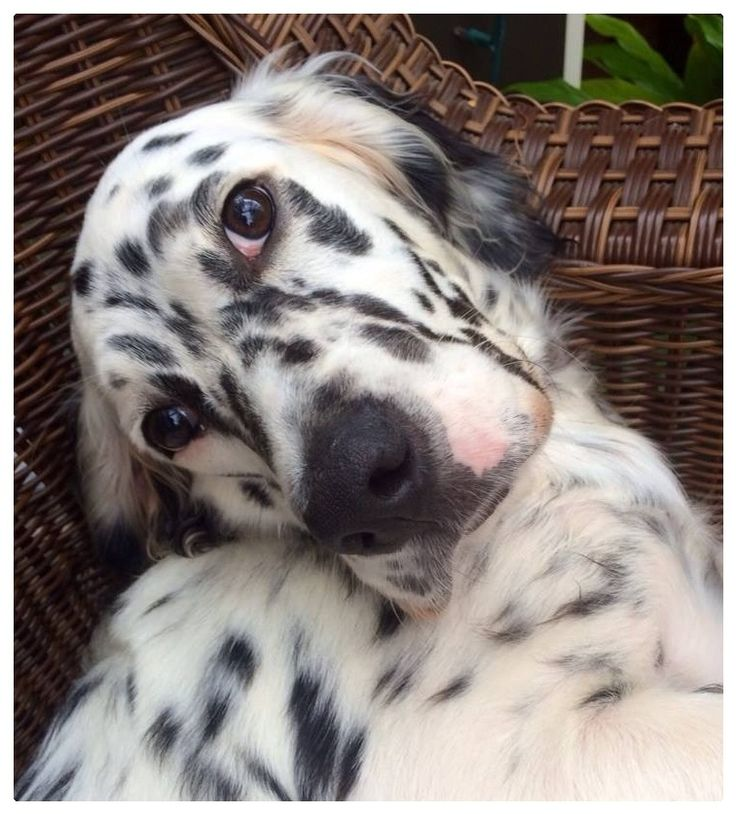 Sweet Callie, the English Setter, almost 7 months - via Lori Young