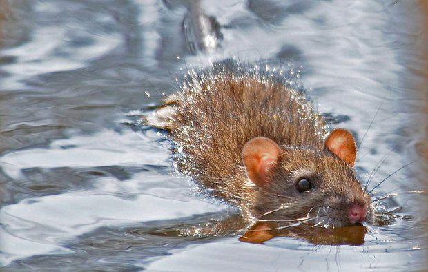 svømmende rotte