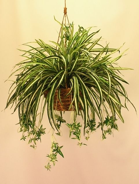 SPIDER PLANT  |  LIGHT: natural light, but not direct sunlight  |  WATER: Light watering. Allow soil to dry between waterings. Black tips or white halo development usually signifies overwatering.: