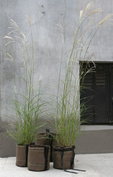 Tall grasses in small pots