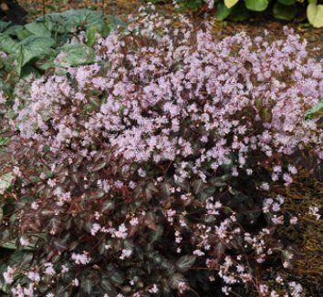 "Thalictrum ichangense 'Evening Star' - 10-12"" summer blooming, moist shade"