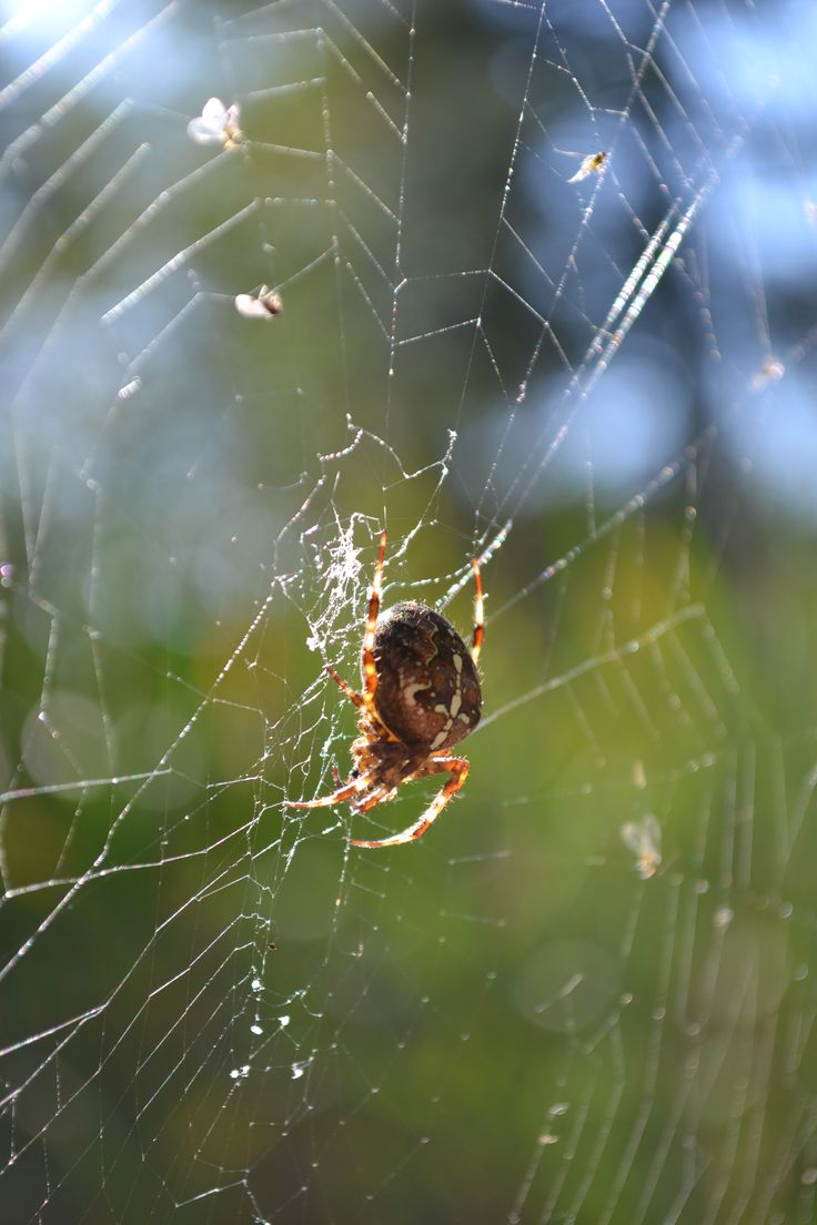 Big, fat spider in Maple Ridge Park