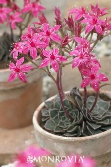 Who says succulents can't be show offs! Chihuahua Flower (Graptopetalum bellum) photograph from Vision Pictures
