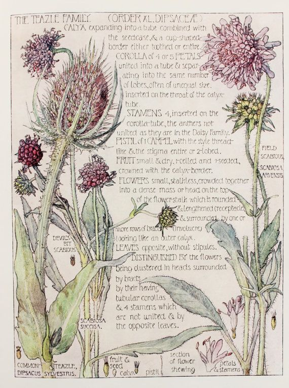1910 Botanical Print by H. Isabel Adams Teazle  by PaperPopinjay, $15.00