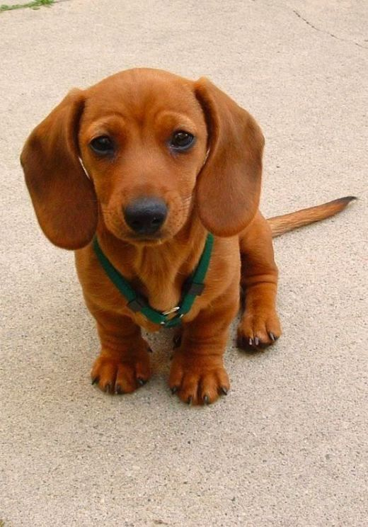 15 Things Only Dachshund Lovers Can Relate To. 5 Will Crack You Up!! - Page 15…