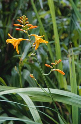 Crocosmia × crocosmiiflora 'Norwich Canary' | Height: 0.6m | Spread: 0.25m