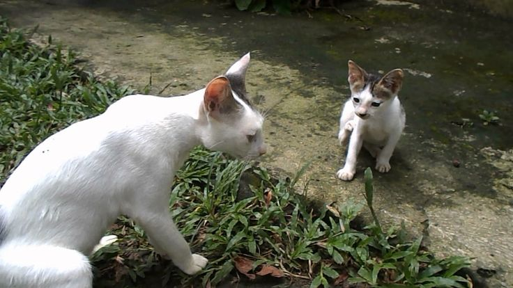 Cat Fighting on the garden of two cats on video
