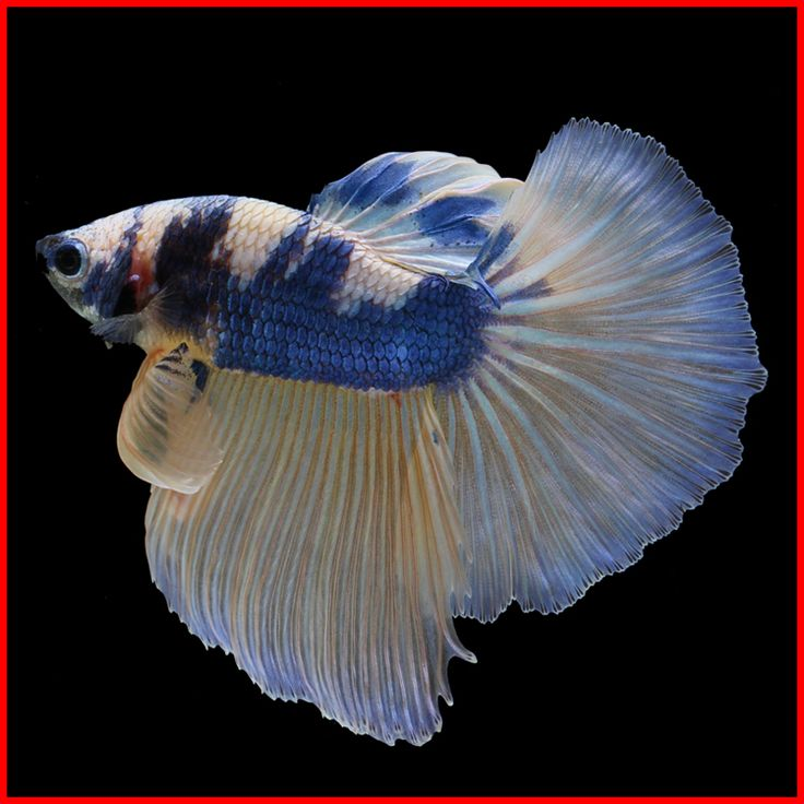 140 best images about betta fish on pinterest copper for Betta fish together