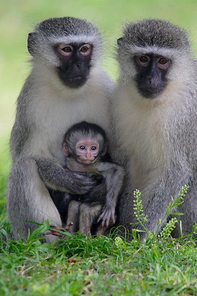 Africa |  Vervet Monkey family.  South Africa |  © stusik_i_sharik, on LiveJournal