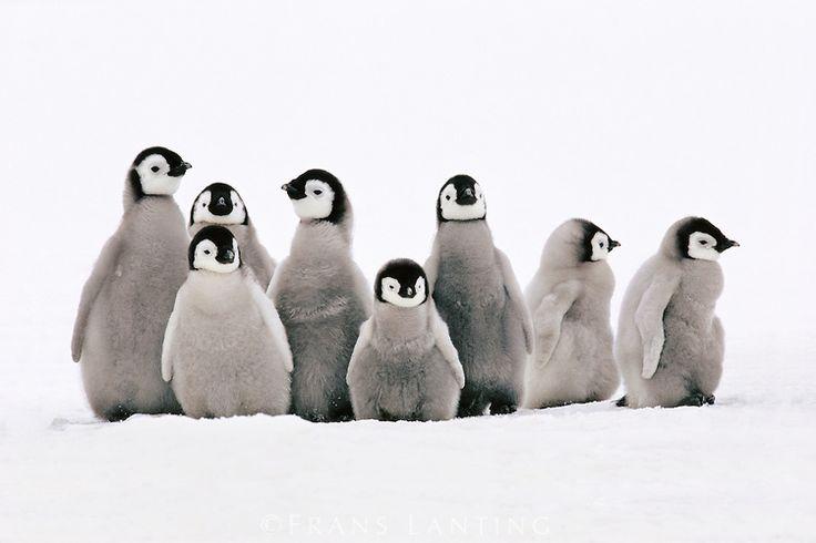 #photographer : Frans Lanting - Emperor penguin chicks, Aptenodytes forsteri, Weddell Sea, Antarctica