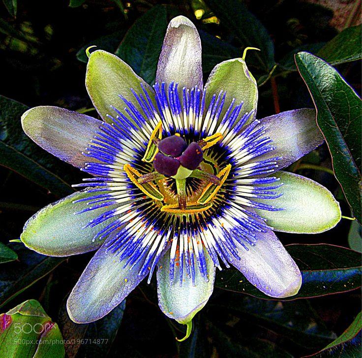 Passionflower - Passiflora caerulea fiore della Passione. by gianluigibonomini