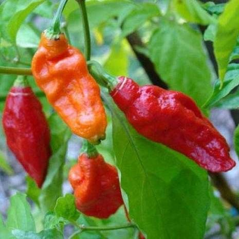 The Magic Vegetable Ghost Chili pack allows you to grow the pepper that will haunt your taste buds.