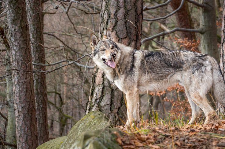Gwen is waiting for us | Kaira´s friend, Gwen. Czechoslovakian wolfdog