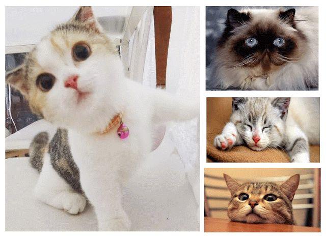 Kucing Anggora Asli Murah Flauschige Katzen