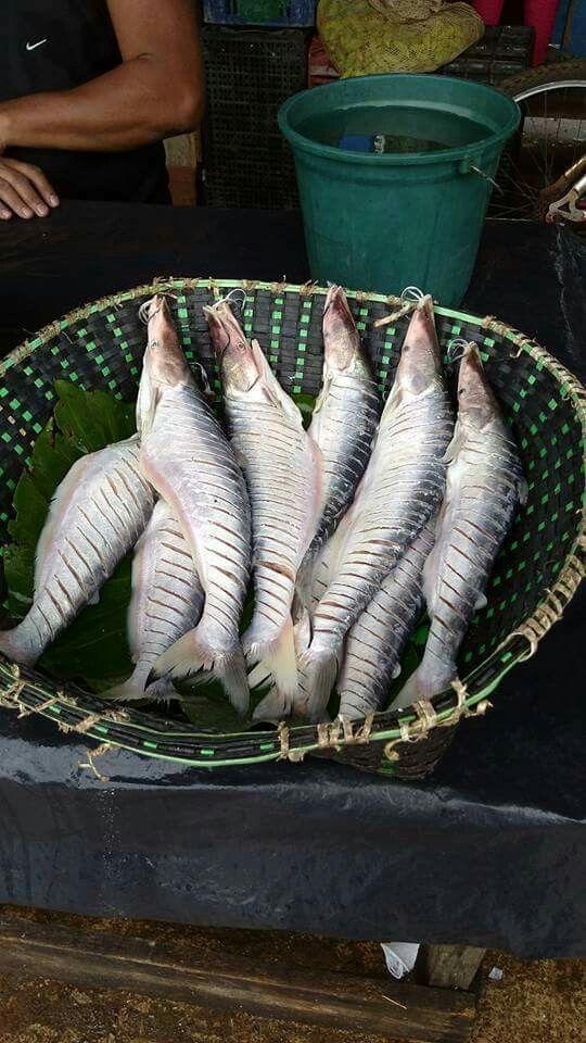 Peixe mapará, pescado na região do baixo rio Tocantins, Pará.